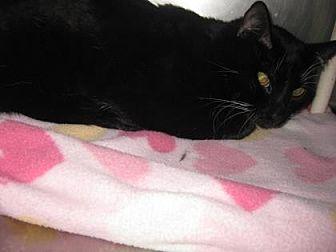 Domestic Shorthair Cat for adoption in Roseville, California - Duncan