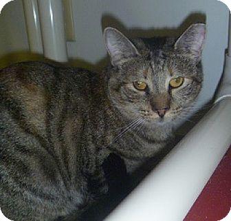 Domestic Shorthair Cat for adoption in Hamburg, New York - Shelly
