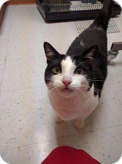 Domestic Shorthair Cat for adoption in Newark, Delaware - Sam