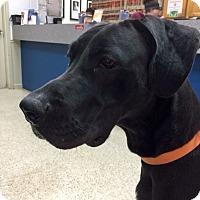 Adopt A Pet :: Violet - Manassas, VA