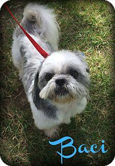 Shih Tzu Dog for adoption in Phoenix, Arizona - BACI