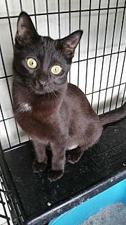 Domestic Shorthair Kitten for adoption in Sharon Center, Ohio - Phoebe