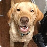 Adopt A Pet :: Sapper - Austin, TX