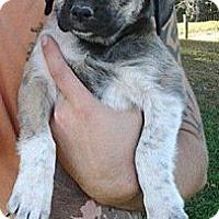 Adopt A Pet :: Fidget - Lancaster, OH
