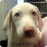 Adopt A Pet :: Fred - Greencastle, NC