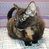 Domestic Shorthair Cat for adoption in Dallas, Texas - PATTY