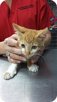 Domestic Shorthair Kitten for adoption in Paducah, Kentucky - Sunshine