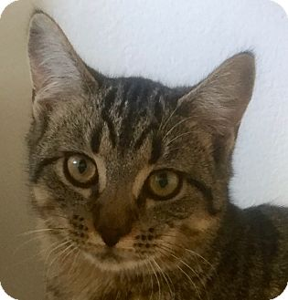Domestic Shorthair Cat for adoption in Norwalk, Connecticut - Delta