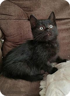Domestic Mediumhair Kitten for adoption in Monrovia, California - Tyler