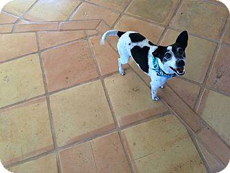 Jack Russell Terrier Dog for adoption in Harrison, Arkansas - Jack