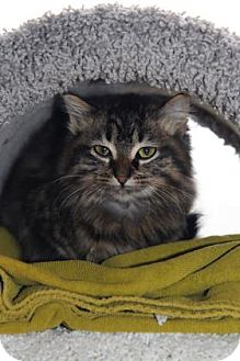 Domestic Shorthair Cat for adoption in Mission, Kansas - Cricket Circle
