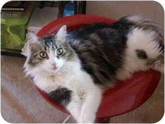 Norwegian Forest Cat Cat for adoption in Morgan Hill, California - Cutie Pie