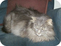 Maine Coon Cat for adoption in East Hanover, New Jersey - Phoenix