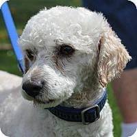 Adopt A Pet :: Ziggy - La Costa, CA