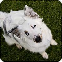 Adopt A Pet :: Spring - Mesa, AZ