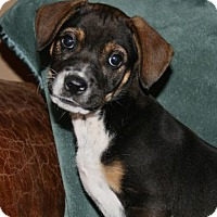 Adopt A Pet :: Sadie - La Habra Heights, CA