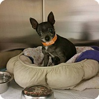 Adopt A Pet :: Olive - Ft. Collins, CO