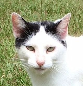 Domestic Shorthair Cat for adoption in Mobile, Alabama - Domino