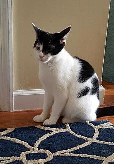 Domestic Shorthair Cat for adoption in Spring Lake, New Jersey - Pepper