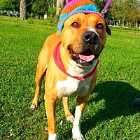 Shar Pei/Boxer Mix Dog for adoption in Huntington, New York - Arnie - N