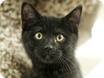 Domestic Shorthair Kitten for adoption in Great Falls, Montana - Ash
