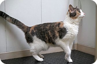 Domestic Shorthair Cat for adoption in Manitowoc, Wisconsin - Pickles