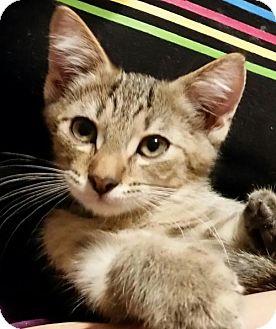Domestic Shorthair Kitten for adoption in Middleburg, Florida - ♥ Robin ♥