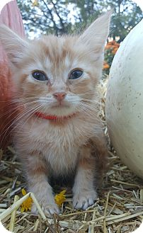 Domestic Shorthair Kitten for adoption in Oakland, Michigan - Rudy - I'm super sweet!