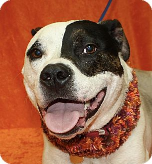 Pit Bull Terrier Mix Dog for adoption in Jackson, Michigan - Titan