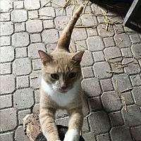 Adopt A Pet :: George - Lauderhill, FL