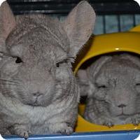 Chinchilla for adoption in Patchogue, New York - Ella