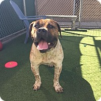 Adopt A Pet :: Duke - Beverly Hills, CA