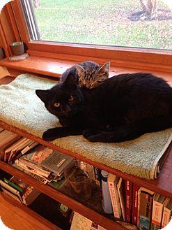 Domestic Shorthair Kitten for adoption in Portland, Maine - Jet