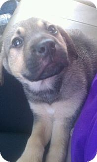 Shepherd (Unknown Type)/Labrador Retriever Mix Puppy for adoption in Gainesville, Florida - Jade