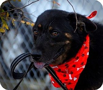 Shepherd (Unknown Type)/Bernese Mountain Dog Mix Dog for adoption in New Roads, Louisiana - Gilly