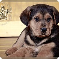 Adopt A Pet :: Diesel - Albany, NY