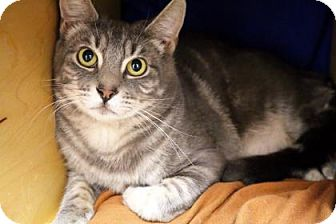 Domestic Shorthair Cat for adoption in Bellevue, Washington - Bailey
