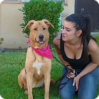 Labrador Retriever/Golden Retriever Mix Dog for adoption in Los Angeles, California - Pretty Charly Girl