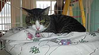 Domestic Shorthair Cat for adoption in Iroquois, Illinois - Cypher