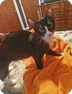 Domestic Shorthair Cat for adoption in Hampton, Virginia - REID
