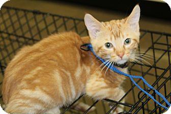 Polydactyl/Hemingway Kitten for adoption in Wichita, Kansas - Rufus