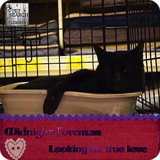 Domestic Shorthair Cat for adoption in Washington, Pennsylvania - Midnight Foreman
