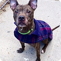 Adopt A Pet :: Porcha - Long Beach, NY