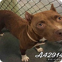 American Staffordshire Terrier Mix Dog for adoption in San Antonio, Texas - PRINCESS