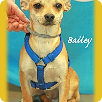 Chihuahua Mix Puppy for adoption in Waterbury, Connecticut - Bailey