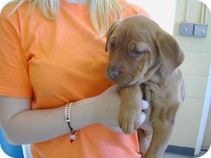 American Bulldog/Labrador Retriever Mix Puppy for adoption in Crawfordville, Florida - Genesis