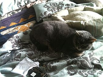 Domestic Shorthair Cat for adoption in Woodstock, Ontario - Madison