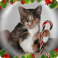Domestic Shorthair Cat for adoption in Bradenton, Florida - Kiwi