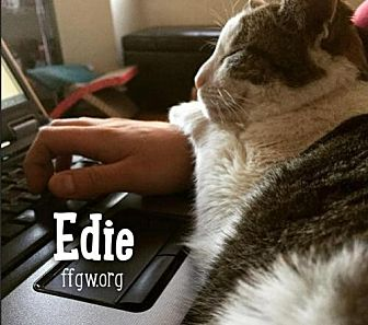 Domestic Shorthair Cat for adoption in Merrifield, Virginia - Spice a/k/a Edie