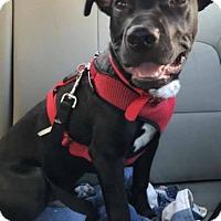 Adopt A Pet :: ROMAN - Montclair, CA